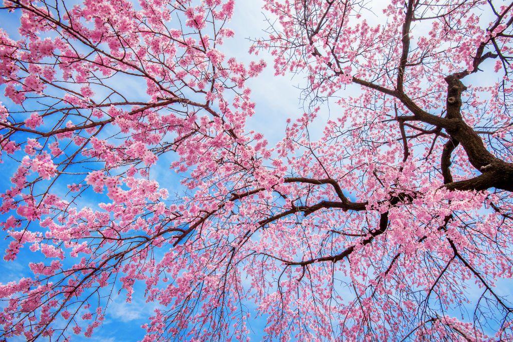 Cherry Blossom with Soft focus, Sakura season in spring.